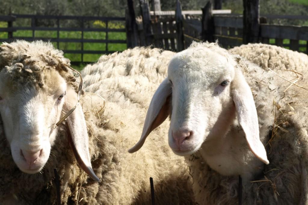 agriturismo-affittacamere-il-giogotoscana-fattoria-animali
