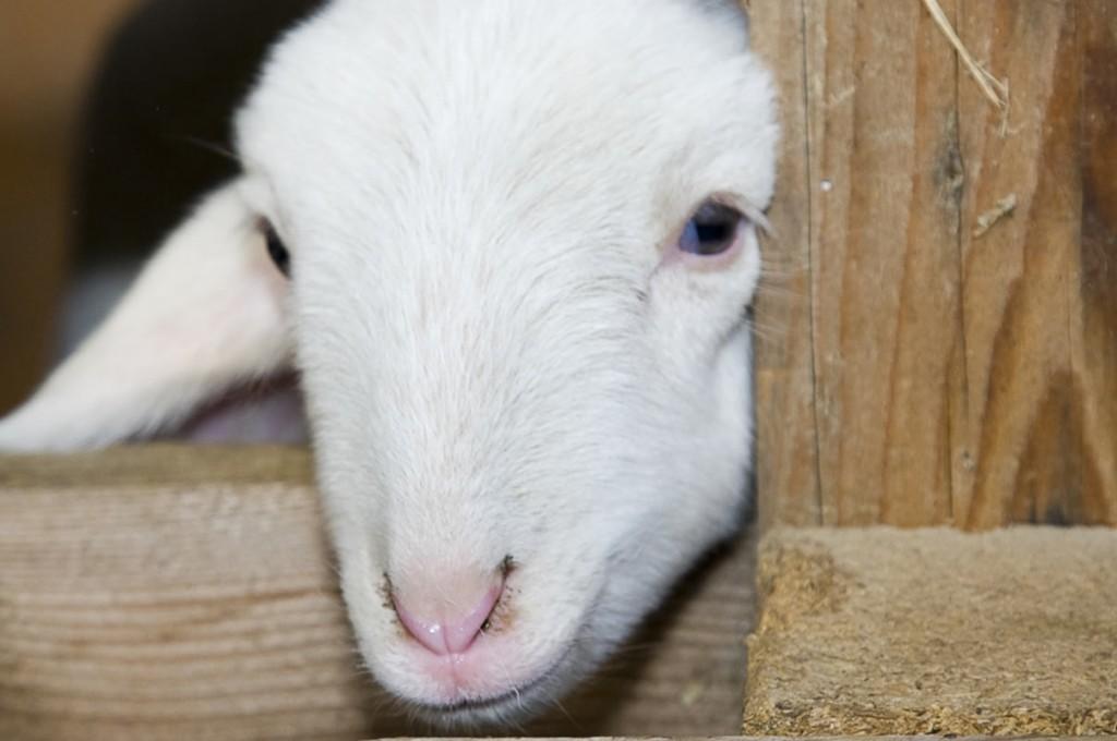 agriturismo-affittacamere-il-giogotoscana-fattoria-animali10
